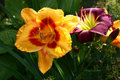 Different day lilies.