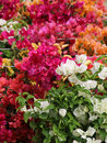 Different kind of bouganvilla flowers Royalty Free Stock Photo