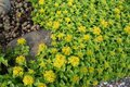 Sedum flowers in blossom and as bud growing in flowerbed Royalty Free Stock Photo