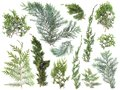Different kinds of fresh green isolated conifer leaves, fir branches on white Royalty Free Stock Photo
