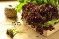 Different kinds lettuce in a wooden box Stock Photos