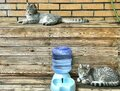 The different resting postures of tabby siblings born in twins of dragon and phoenix Royalty Free Stock Photo