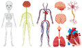 Different system in human body Royalty Free Stock Photo