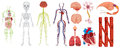 Different systems in human body Royalty Free Stock Photo