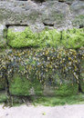 Different types of seaweed growing on a harbour wall at low tide Royalty Free Stock Photography