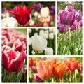 Different vieuw of tulipes Royalty Free Stock Photo