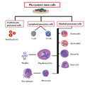 Differentiation of blood cells thediagram shows Royalty Free Stock Image