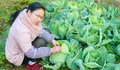 Dig the cabbage woman on land Royalty Free Stock Images
