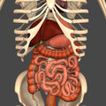 Digestive system in the human the process of digestion has many stages the first of which starts in the mouth oral cavity Royalty Free Stock Images