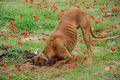 Digging dog thrust the head into a hole on flower field Stock Photography