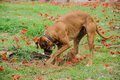 Digging dog thrust the head into a hole meadow of red flowers Royalty Free Stock Photos