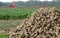 Digging of sugar-beets Royalty Free Stock Photo