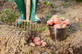 Digging up the potatoes farmer crop Stock Photography