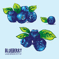 Digital vector detailed color blueberry hand drawn