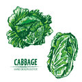 Digital vector detailed color cabbage hand drawn