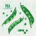 Digital vector detailed line art color pea Royalty Free Stock Photo