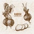 Digital vector detailed line art radish vegetable Royalty Free Stock Photo