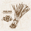 Digital vector detailed line art spring onion