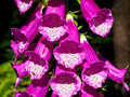 Digitalis Stock Images