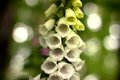 Digitalis blooming in the woods Stock Photography