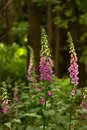 Digitalis blooming in the woods Royalty Free Stock Photos