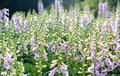 Digitalis or foxglove with mauve flowers Royalty Free Stock Photo
