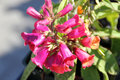 Digitalis illumination raspberry digiplexis illumination raspberry clump forming hybrid cultivar with pink flowers in Stock Images