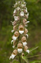 Digitalis lanata plant wooly foxglove flower closeup on natural background Stock Photography