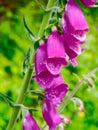 Digitalis purpurea in the field Stock Photo