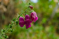 Digitalis purpurea flower foxglove poisonous and toxic Stock Image