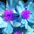 Digitally enhanced peonies in blue and violet colors Royalty Free Stock Image