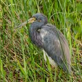 Dignified tricolored heron standing in tall green grass Royalty Free Stock Photo