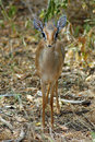 Dik dik standing front on Royalty Free Stock Image