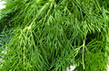 Dill Stock Photography