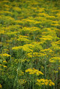 Dill- Anethum graveolens Royalty Free Stock Photo