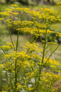 Dill Anethum graveolens Royalty Free Stock Photo