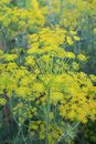 Dill Anethum graveolens grows in the garden Royalty Free Stock Photo