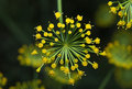 Dill (Anethum graveolens). Macro. Top view Royalty Free Stock Photo