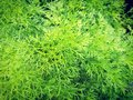 Dill or annual herb which leaves and seeds are used as a herb or spice for flavouring fo Royalty Free Stock Photo