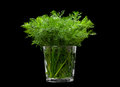 Dill aromatic herb closeup isolated on black background Royalty Free Stock Photography