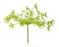 Dill flower isolated on white background Royalty Free Stock Photography