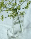 Dill Royalty Free Stock Photo