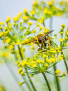 Dill flowers pollination Royalty Free Stock Photo