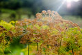 Dill inflorescence in spectacular light Royalty Free Stock Photography