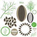 Dill isolated objects on white background vector illustration eps Royalty Free Stock Photography