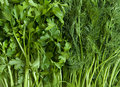 Dill and parsley. Stock Image
