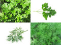 Dill and parsley the file consists of four frames two frames two frames a sprig of a sprig of Royalty Free Stock Image
