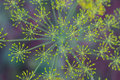 Dill Plant Abstract Royalty Free Stock Photo