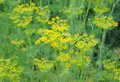 Dill plant, Anethum graveolens Royalty Free Stock Photo