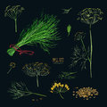 Dill set. Hand drawn colorful collection with greens, bunch, branch, flower, inflorescence, seeds. Vector illustration